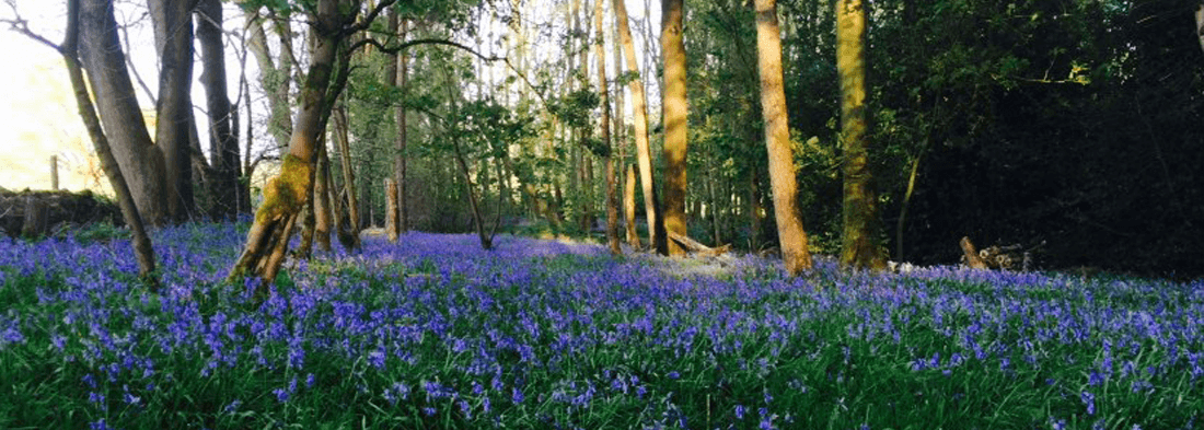 Bluebell Meadows
